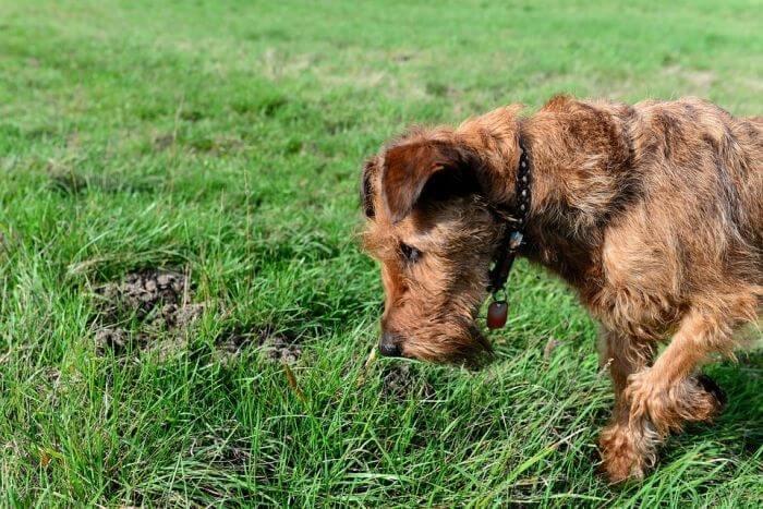 dog digging for something underground