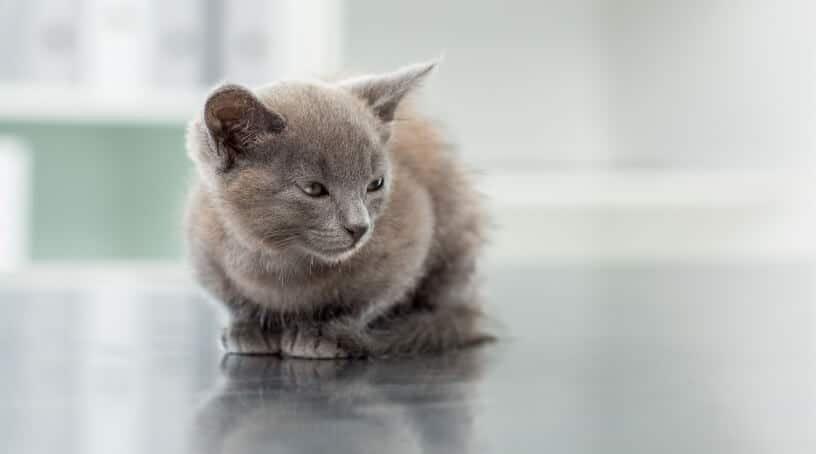Cat Flu in Kittens