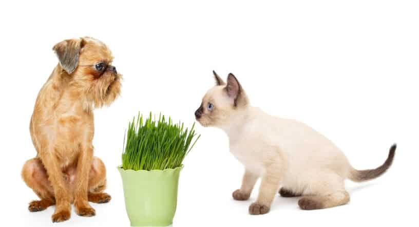 Pet grass for dogs to eat