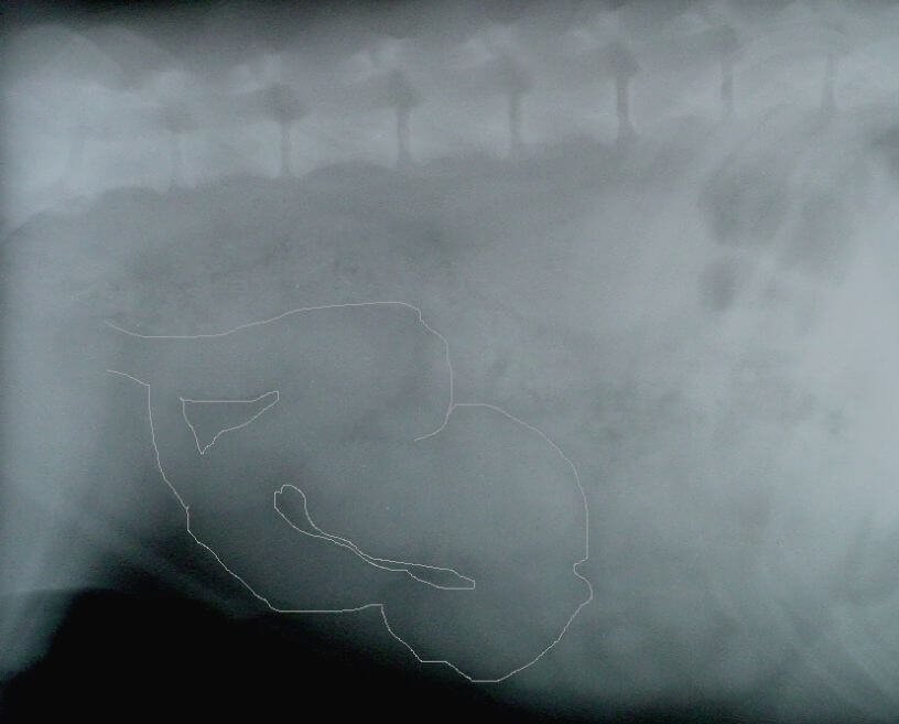 Pyometra radiology